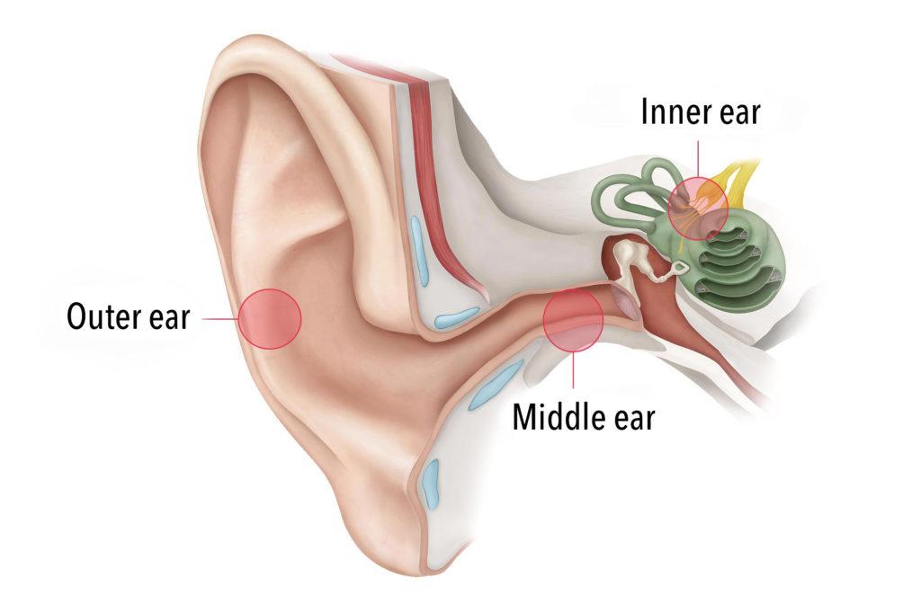 Funktion des Ohres